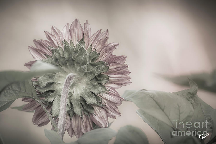 Dreamy Sunflower by Alana Ranney