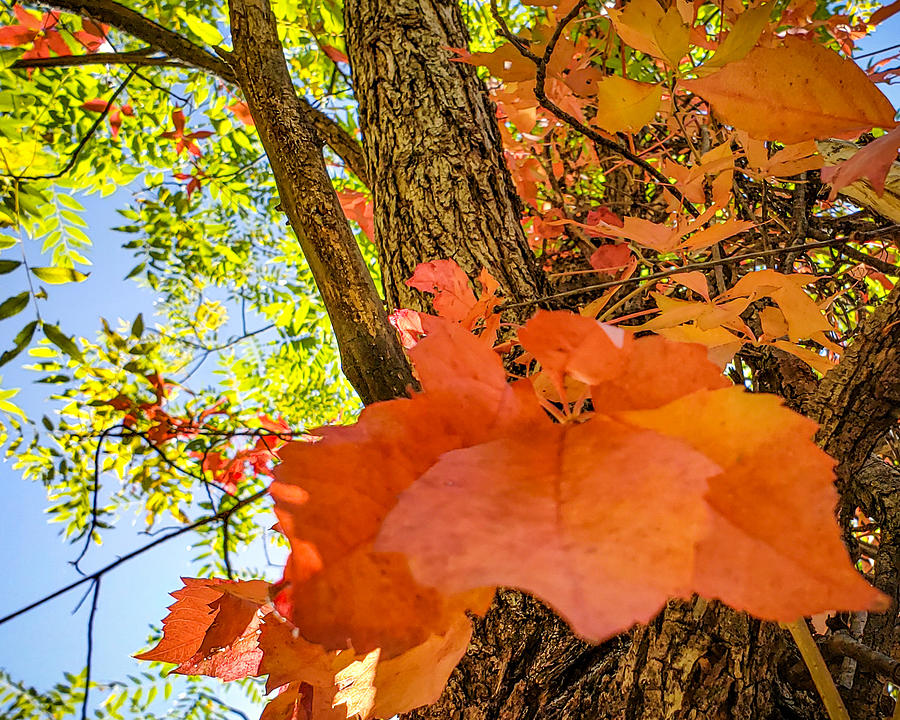 Tree Photograph - Dressed for Fall by Bonny Puckett