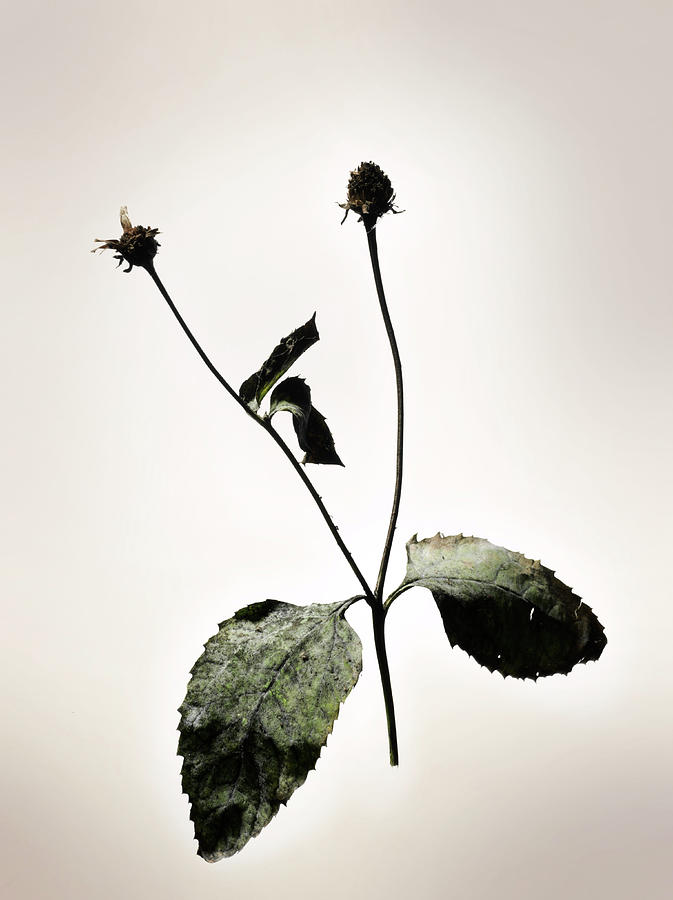 Dried Flowers Photograph by Renold Zergat