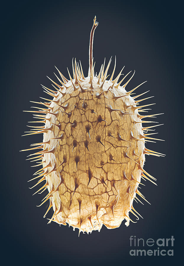 Cucumber Photograph - Dried Fruit Of Echinocystis Lobata by Mike Laptev