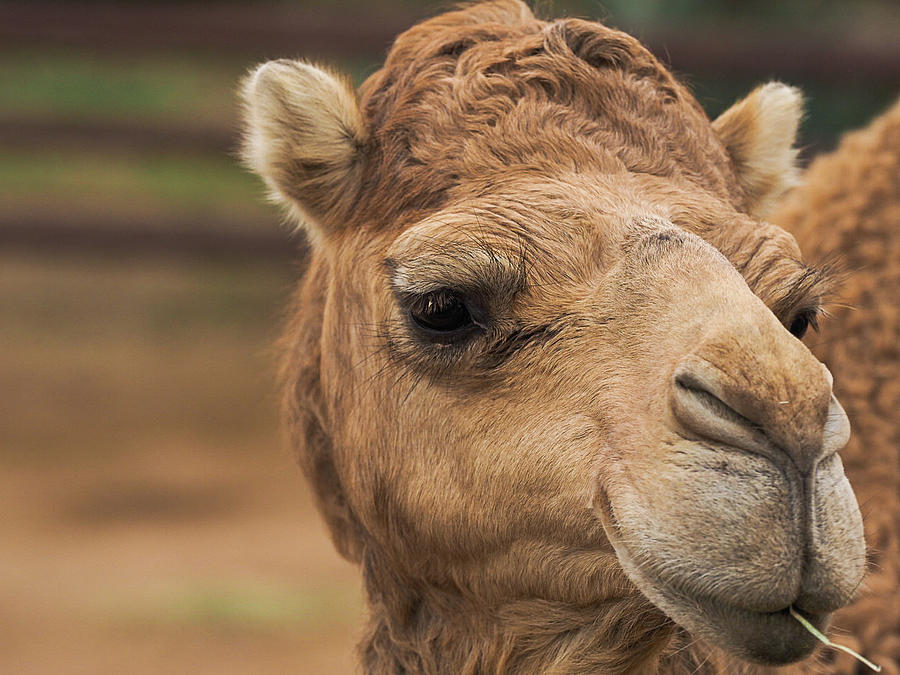 Dromedary Camel by Peggy Blackwell
