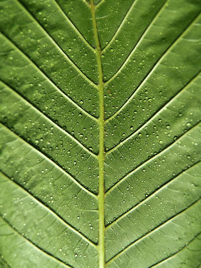 Drops On Poinsettia Leaf Photograph by Daniel Kulinski