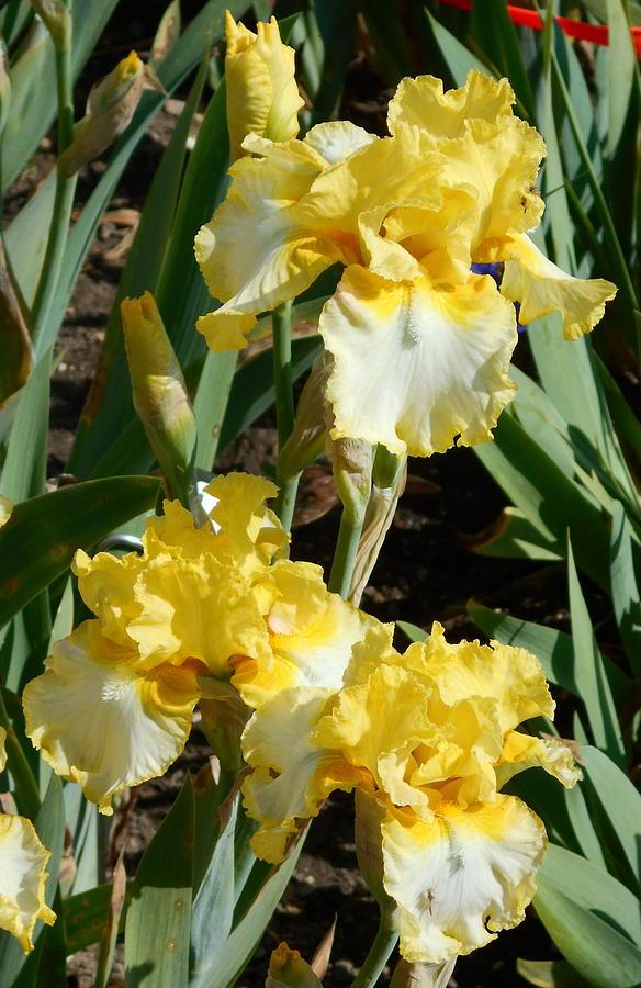 Dual Colored Iris by Barbara Keith
