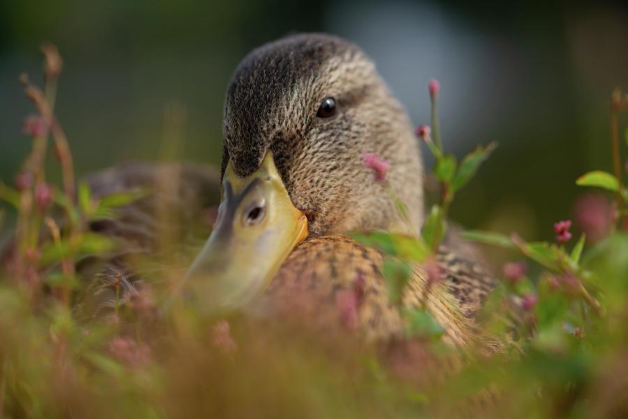 Wildlife Photograph - Duck 1 by Ryan Pelletier