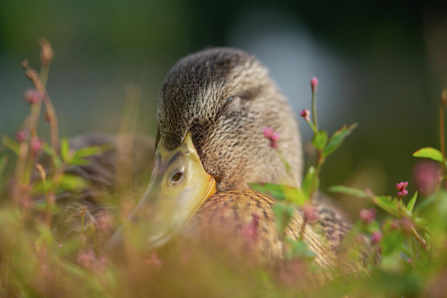 Wildlife Photograph - Duck 2 by Ryan Pelletier
