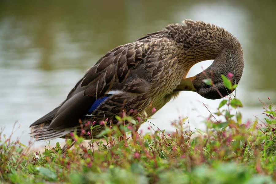 Wildlife Photograph - Duck 3 by Ryan Pelletier