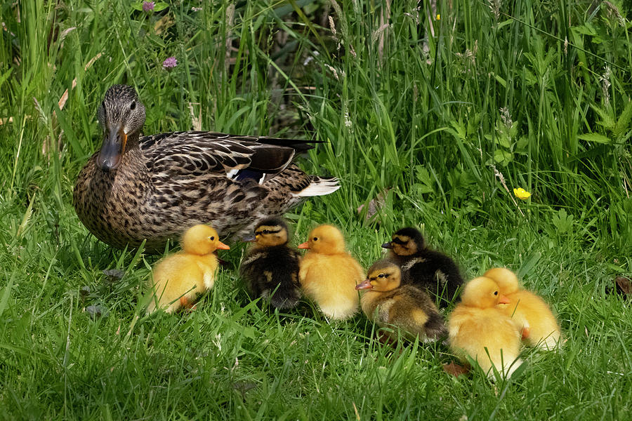 duck and cute little ducklings by Mariella Wassing