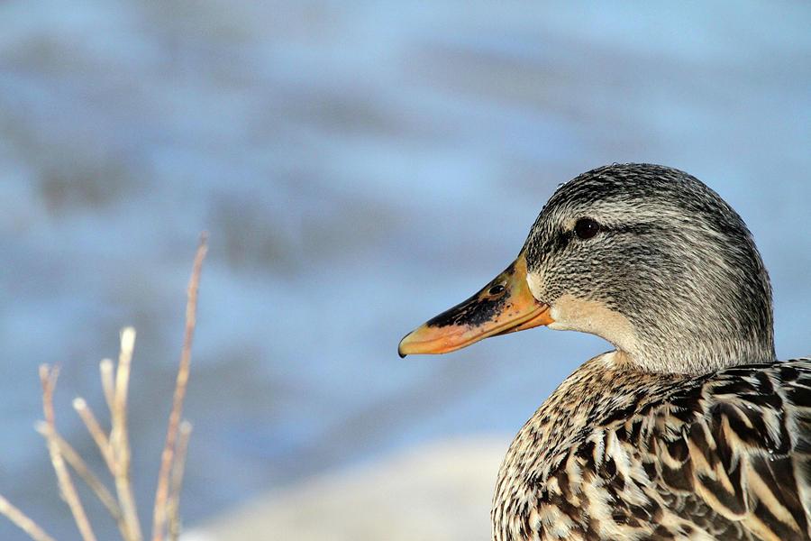 Duck Capture by Karol Livote