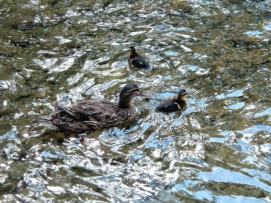 Duck, Duck, Duck Photograph