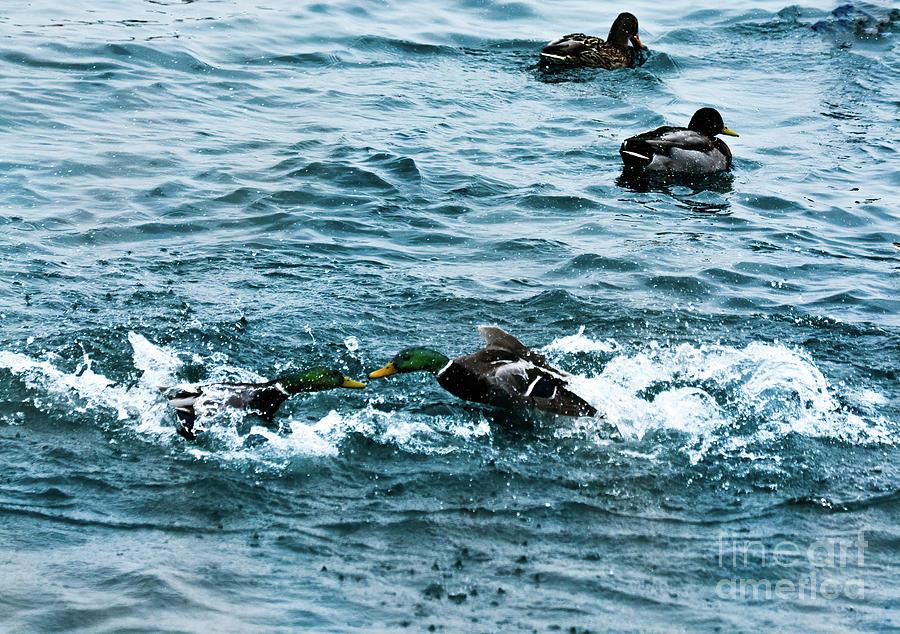 Duck fight Duck fight by Randy J Heath