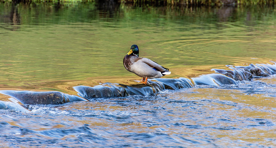 Duck on the edge by Scott Lyons