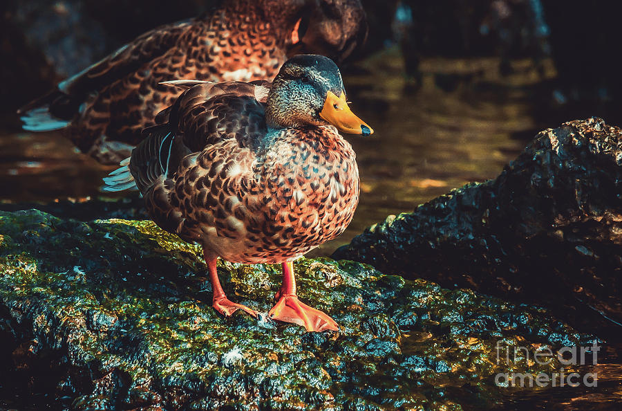 Duck Walk. Nature Photography  by Stephen Geisel