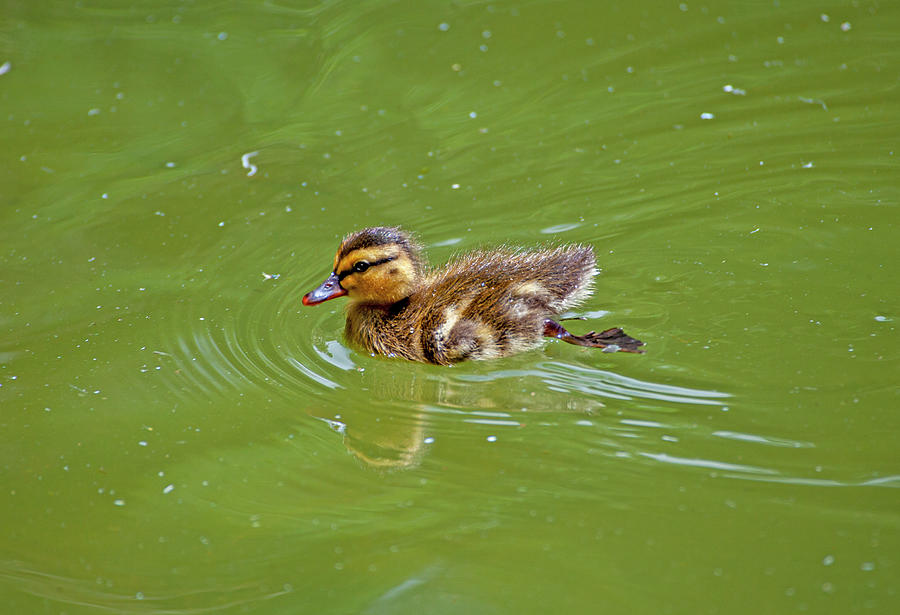 Duckling by Anthony Jones