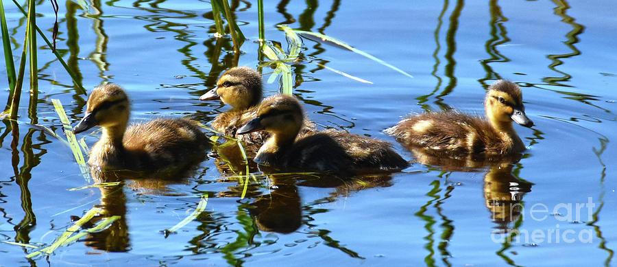 Ducklings by Christine Dekkers