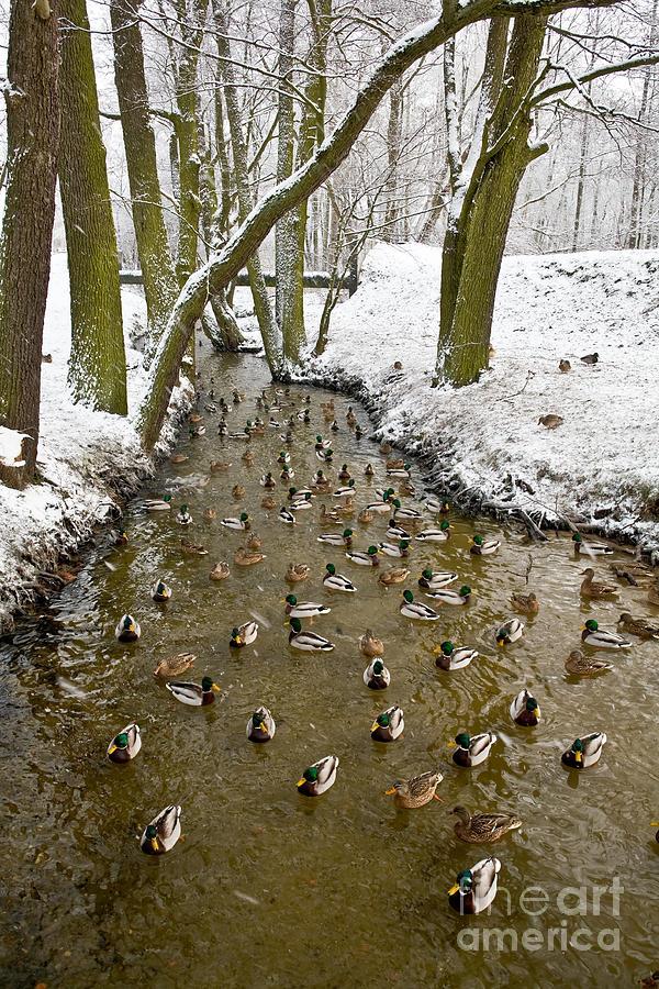 Brook Photograph - Ducks Anas Platyrhynchos On The River by Tomasz Nieweglowski