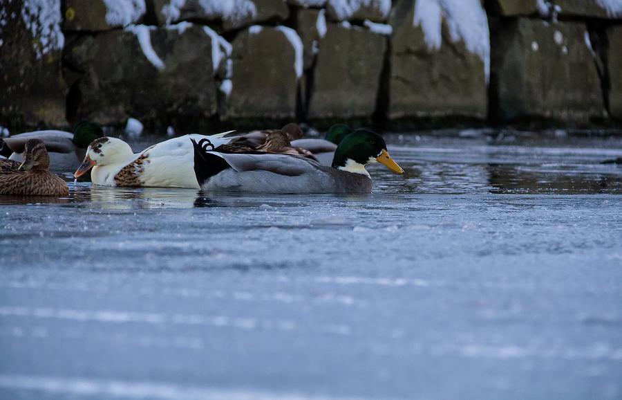 Ducks Photograph