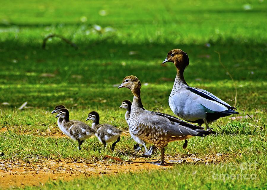 Ducks by Graham Buffinton