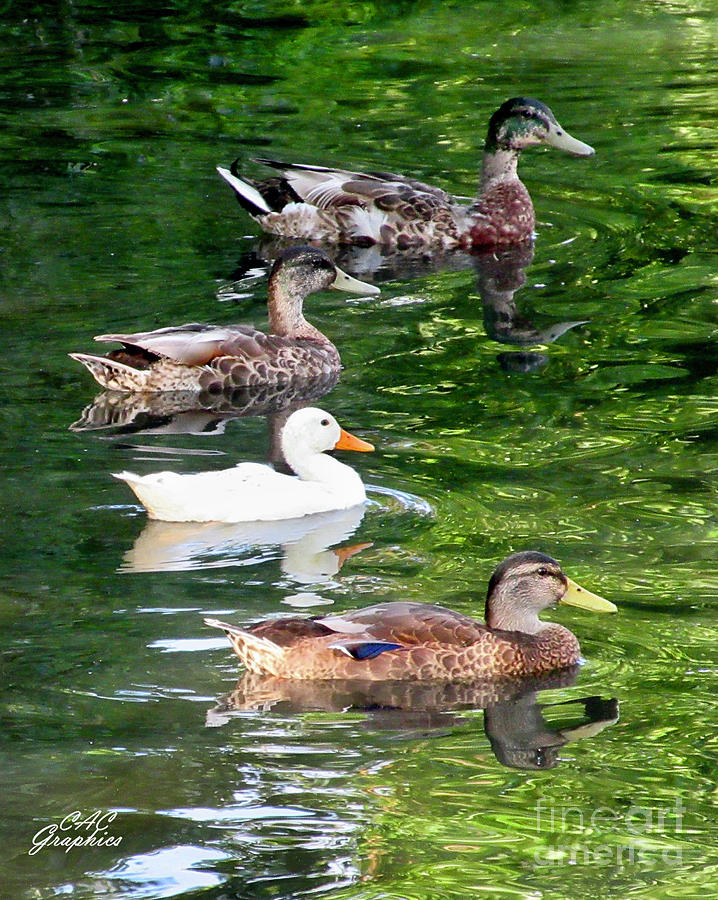 Ducks On The Pond by CAC Graphics