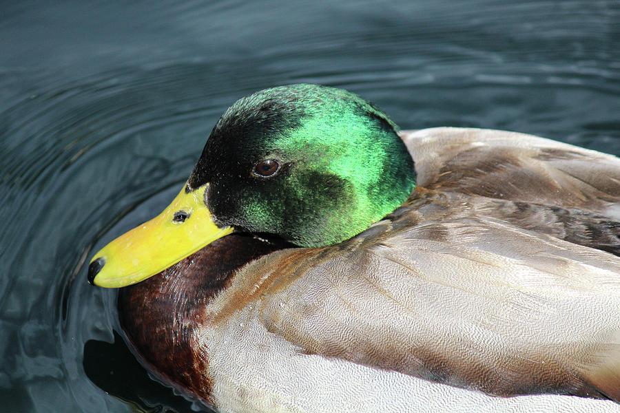 Ducky by Alina Avanesian