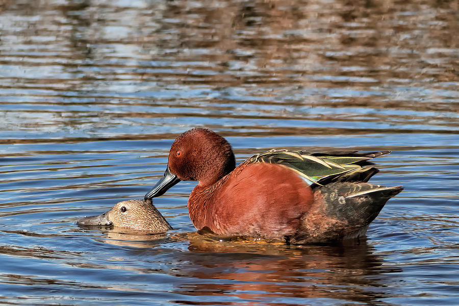Cinnamon Teal Photograph - Ducky Delight by Kathleen Bishop