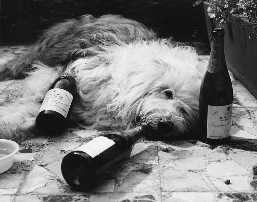 Dulux Dog Drunk Photograph by Michael Webb