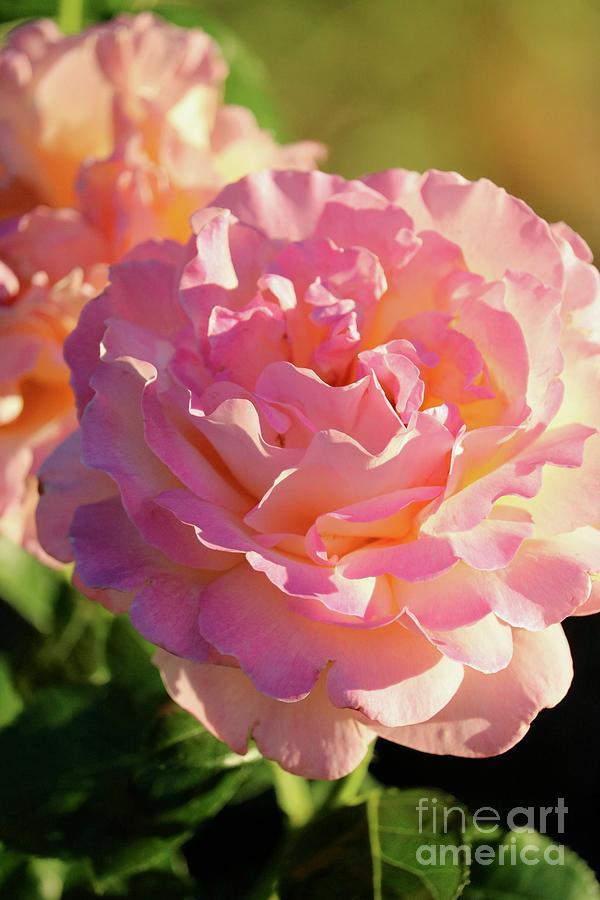 Dusky Roses by Carol Groenen