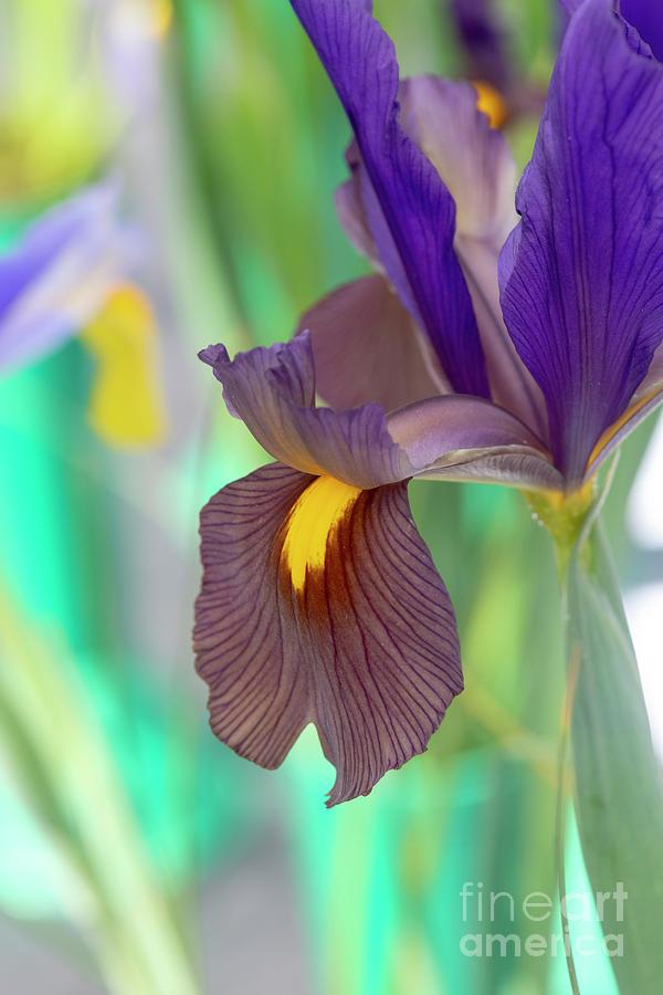 Dutch Iris Black Beauty by Tim Gainey