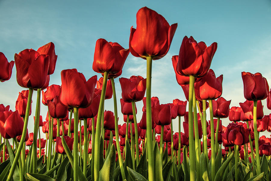 Tulip Photograph - Dutch Red Tulip Field. by Anjo Ten Kate