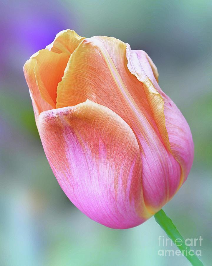 Dutch Tulip by Norman Gabitzsch