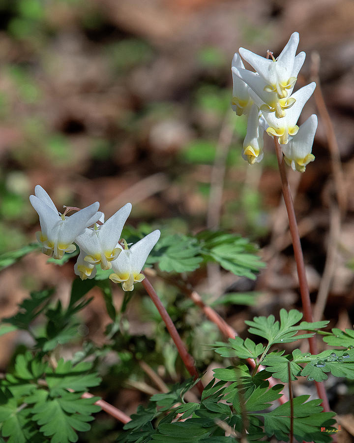Dutchmans Breeches DFL0948 by Gerry Gantt