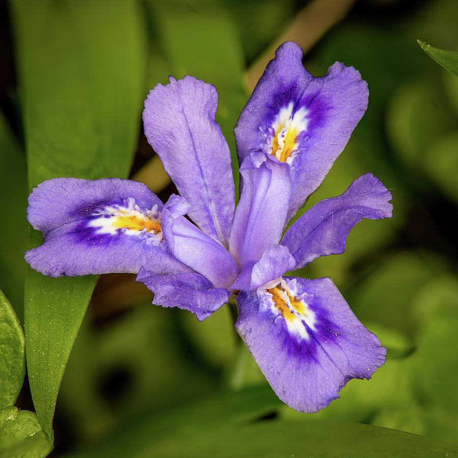 dwarf lake iris #2 by David Heilman