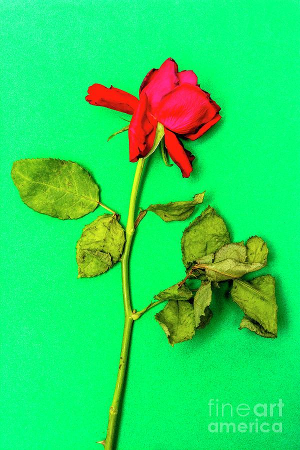 Square Photograph - Dying Flower Against A Green Background by Bernard Jaubert