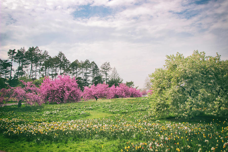 Landscape Photograph -  Cherry Trees On A Hill by Jessica Jenney