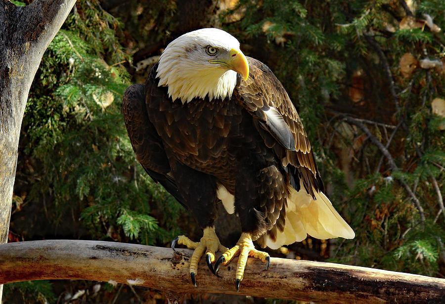 Eagle Alert by Frank Vargo