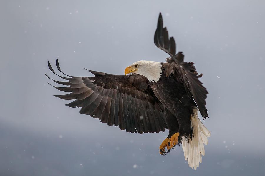 Eagle Photograph - Eagle & Snowflakes by Nick Kalathas