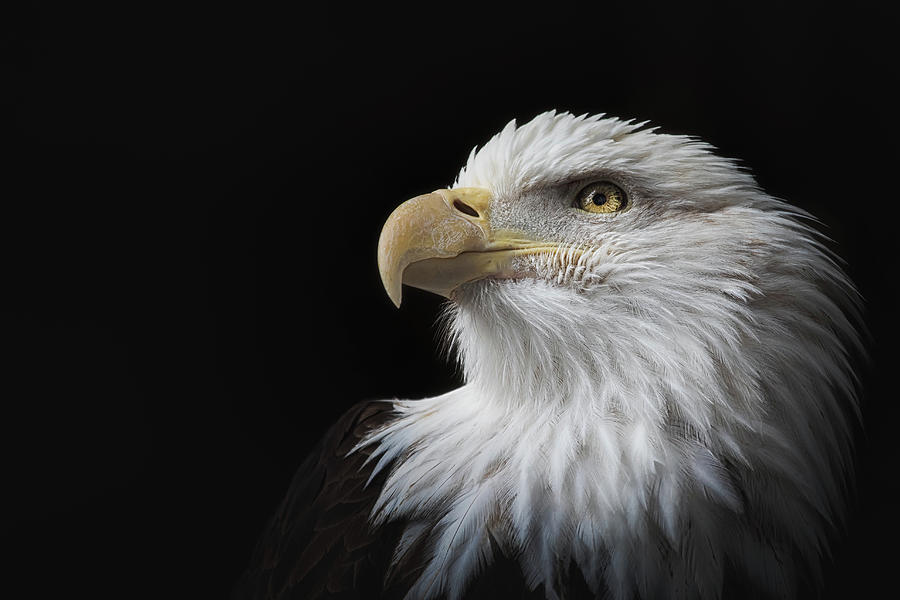 Eagle Eye Intensity by My Photography Adventure