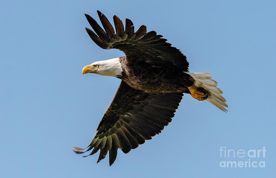 Eagle in Flight by Lisa Manifold