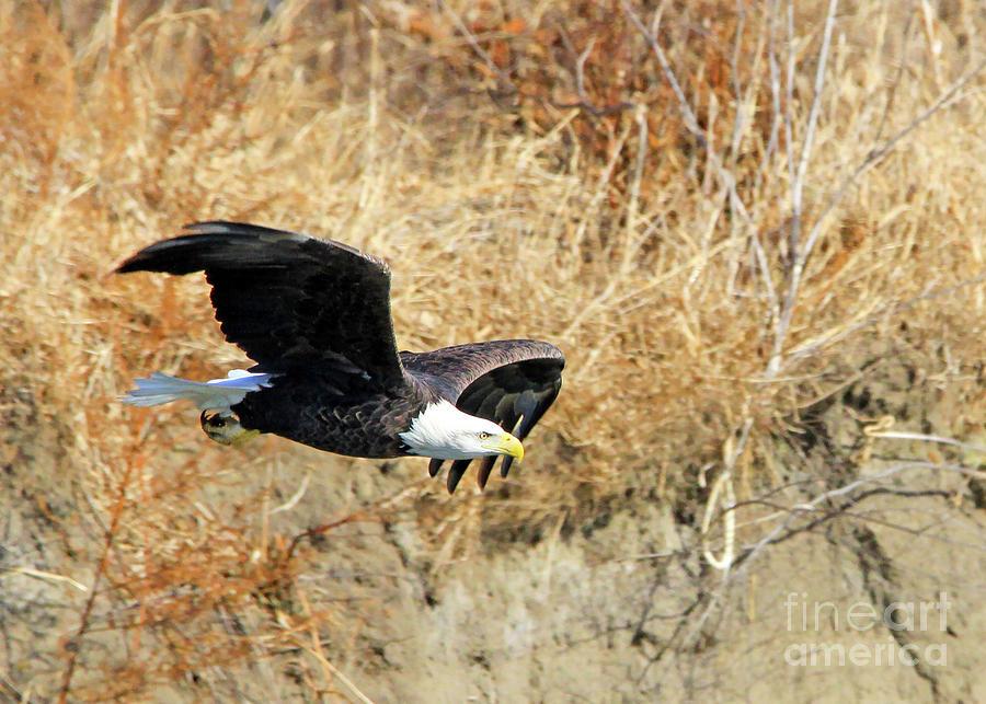 Eagle in Flight by Paula Guttilla