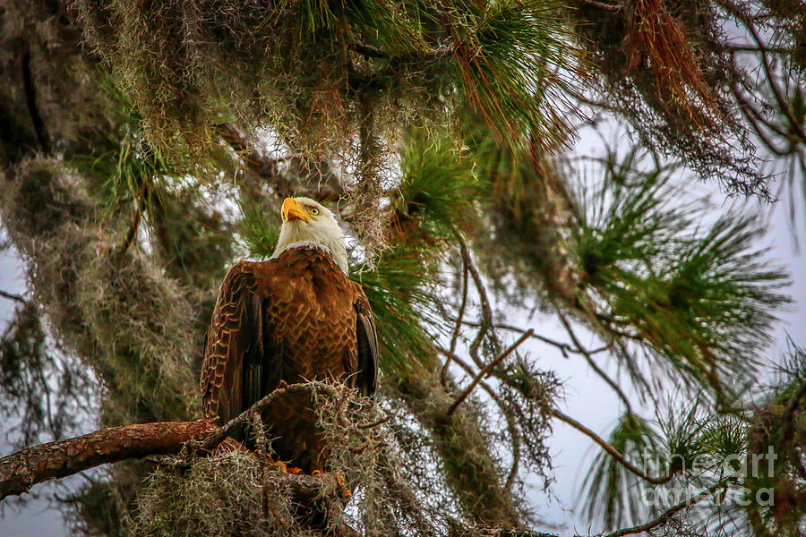 Eagle in Tree by Tom Claud