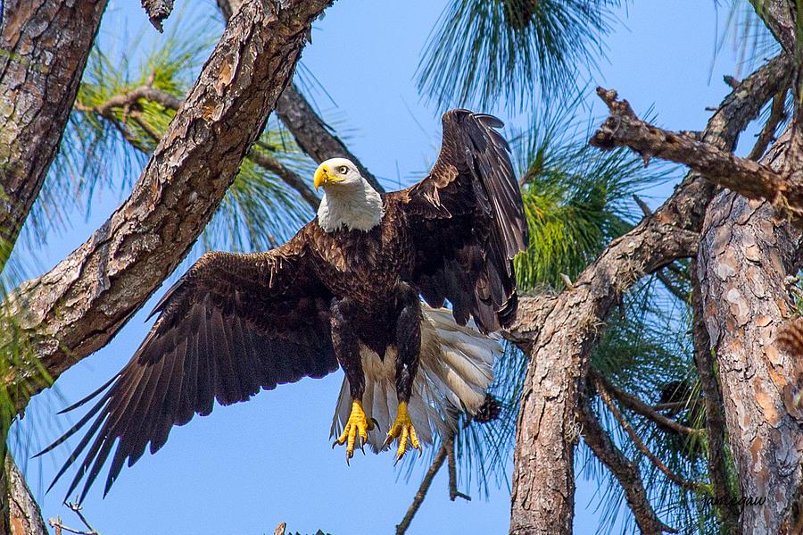 Eagle Landing by John A Megaw