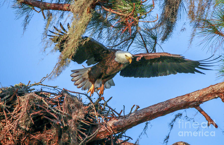 Eagle Launch by Tom Claud