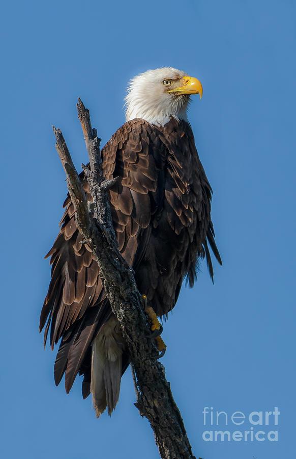 Eagle on a Snag by Lisa Manifold