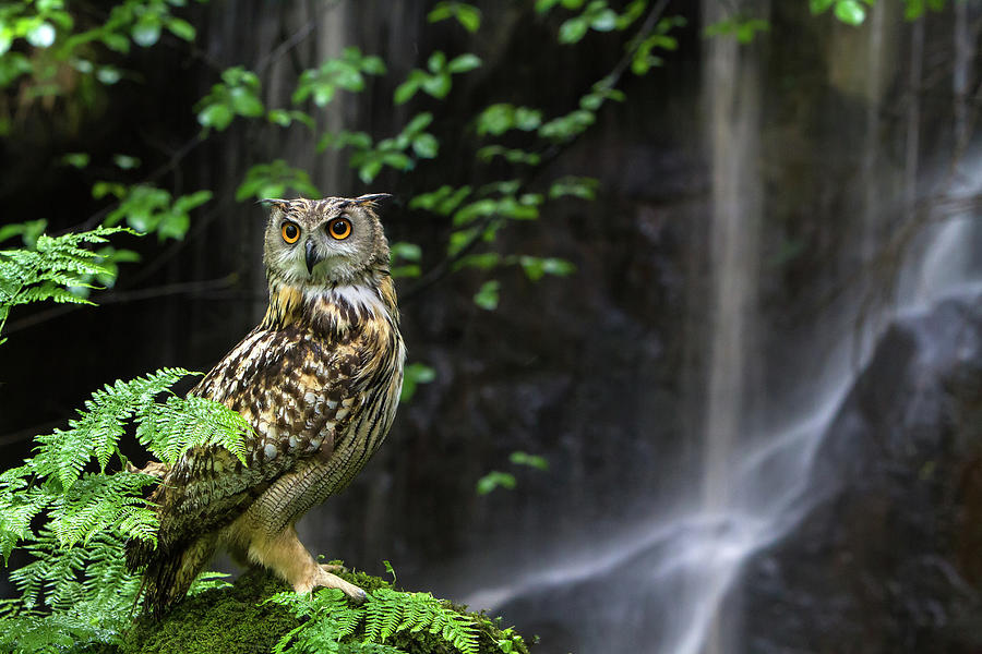 Eagle Owl By Waterfall Photograph by Images From Barbanna