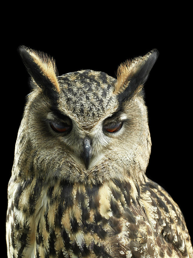 Eagle Owl Close Up With His Eyes Photograph by Michael Blann