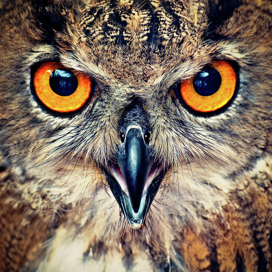 Eagle Owl  Eyes Photograph by © Allard Schager