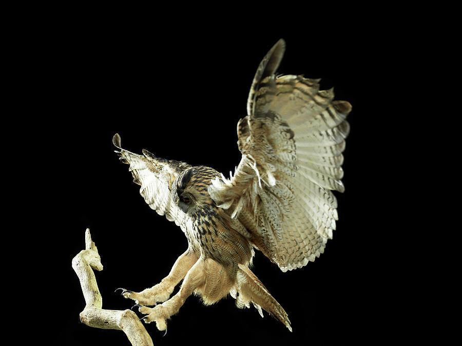 Eagle Owl Landing On A Branch Photograph by Michael Blann