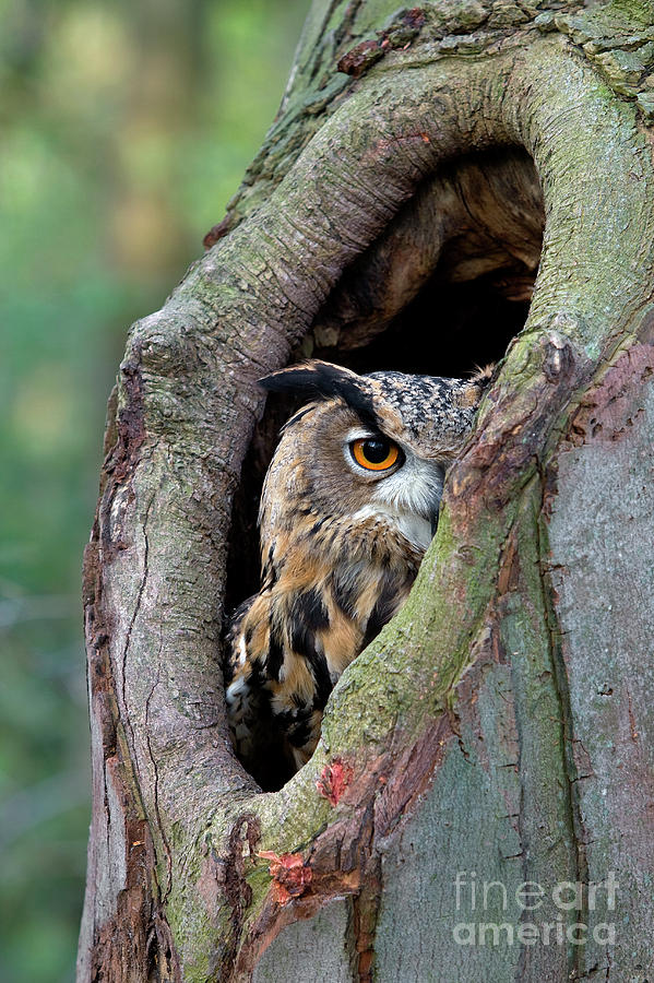 Eagle Owl Peering from Nest Cavity by Rob Reijnen
