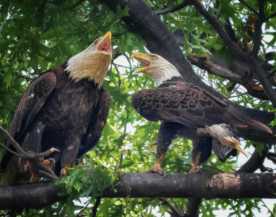 Eagle Pair  by Richard Kopchock