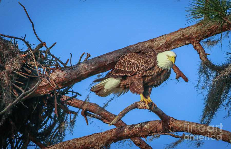 Eagle Perch by Tom Claud