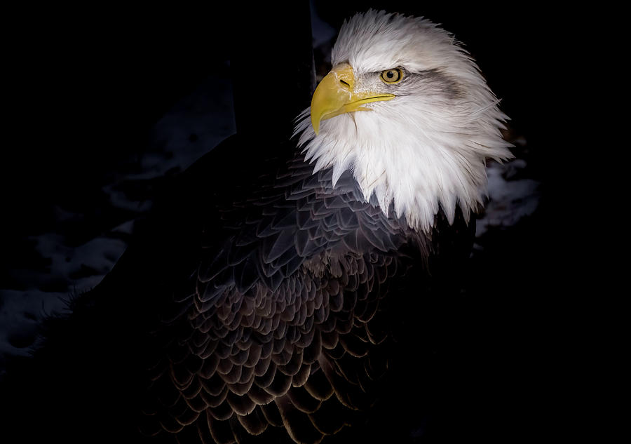 Eagle Portrait by Peter Wagner